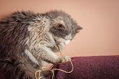 Beautiful Domestic Cat Plays With A Toy. A Cute Kitten Playing poster