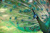 pavão com cauda totalmente ventilou