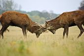 foto of jousting  - Jousting fighting red deer stags clashing antlers in Autumn Fall forest meadow - JPG