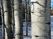 Winter Aspens Up Close