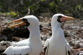 Piqueros enmascarados, Galápagos