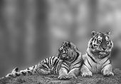 Beautiful Image Of Tigress Relaxing On Grassy Hill With Cub In Black And White