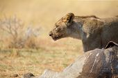Lone Lioness Guarding Over A Carcass Against Possible Scavengers poster