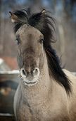 stock photo of dapple-grey  - wild grey horse close up in a motion - JPG