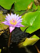 Nymphaea Lotus