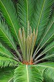Cycad Palm (cycas)