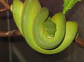 Greenpython (morelia Viridis)