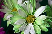 Green and white daisy
