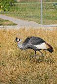 foto of guinea fowl  - winged guinea - JPG