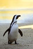 stock photo of jackass  - Endangered African Penguin looking out towards the water at sunset - JPG