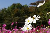 whiter cosmos flowers