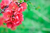 Quince Flowers In Full Bloom, Blur Backgound