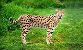 stock photo of pointed ears  - An alert serval cat fixes its eyes and ears on a central point - JPG