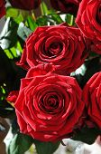 Closeup Of Two Red Roses