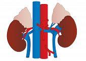 Vector Human Kidneys Medicine Anatomy