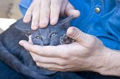 image of callus  - Callused male hands caressing a little kitten - JPG