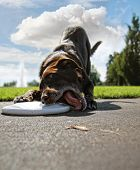 image of goofy  - a cute dog in a park during summer playing frisbee - JPG
