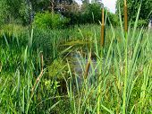 Cattail On The Bog