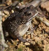 Toad Bufo Melanostictus