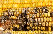 Corn rot