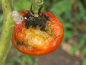 Disease of tomato