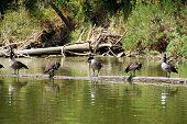 anadian geese sunning