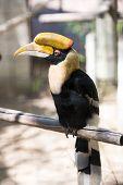 Buceros Bicornis Bird