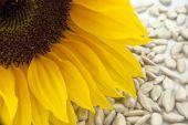 Girasol con semillas - Closeup