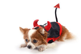 image of chiwawa  - Chiwawa in devil suit lying on white background - JPG