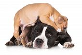 image of puppies mother dog  - red puppy playing with a black dog - JPG