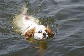 Swimming King Charles Spaniel