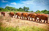 A herd of baby elephants , Kenya. Afrika.