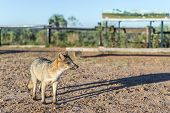 stock photo of mesopotamia  - Mountain Fox on El Palmar National Park  - JPG
