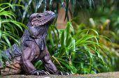 Rhinoceros Iguana