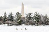 Washington DC - Washington Monument in snow with walking three ducks foreground.