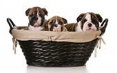 litter of english bulldog puppies in a basket - 8 weeks old