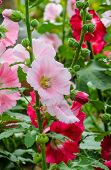 foto of hollyhock  - Close Up Of Pink Hollyhock Flower In Bloom - JPG