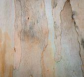 image of eucalyptus trees  - Background Of Eucalyptus Tree Bark Abstract Texture - JPG
