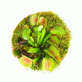 foto of flytrap  - Carnivorous flower muscipula on a white background - JPG
