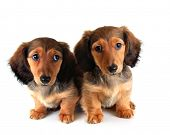 Longhair dachshund puppy and mother, isolated on white.