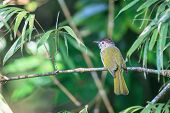 pic of bulbul  - Mountain Bulbul in the forest of Thailand