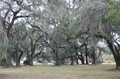 image of jekyll  - Jekyll Island Oak trees cover with Spanish moss - JPG