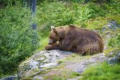 Big Brown Bear Eating Fish