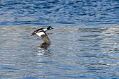 Common Goldeneye Duck Flying Across The Water