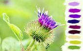 picture of scottish thistle  - Great floral background with purple thistle flower over vivid green - JPG