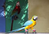 Colorful Parrot On Skates