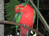 stock photo of king parrot  - At the Cairns Rainforest Dome - JPG