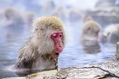 Macaque baths in hot springs in Nagano, Japan.