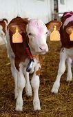 calves farm 2