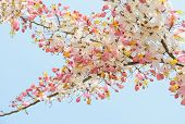 stock photo of cassia  - Pink shower blossom or Cassia javanica flower - JPG